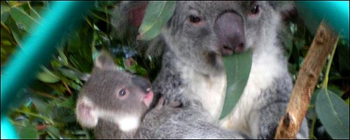 Travel to the Lone Pine Koala Sanctuary with our Brisbane car rental service.